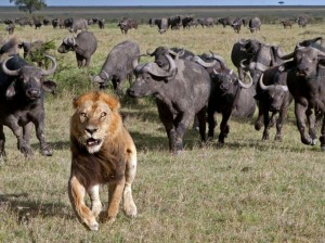 Buffalo Chase away Lion