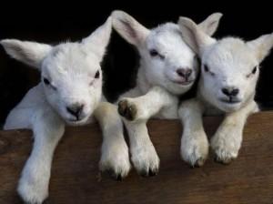 Two-day-old triplet lambs, Bucklebury, Berkshire, Britain - 27 Mar 2015