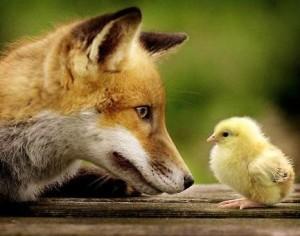 Le-renard-libre-dans-le-poulailler-libre